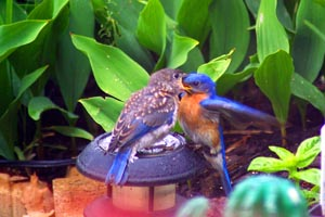 Male Eastern Bluebird feeding young � Joanne DuMound