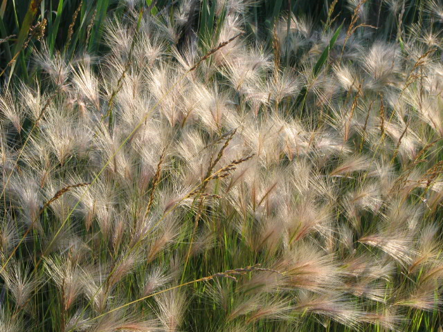 A Rye grass © Mary Anne Romito