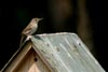 House Wren © David Lewis