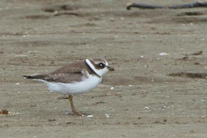 Semipalimated Plover © Dave Lewis