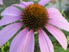 Purple Coneflower © Mary Anne Romito