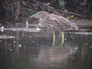 Immature Black Crowned Night Heron © Dave Watkins