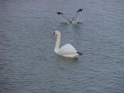 Mute Swan and Ring-billed Gull