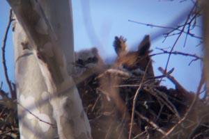 Great Horned Owl with Chick � Penny OConnor