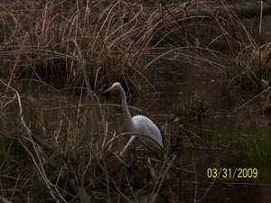Great Egret at Rocky River nature Center