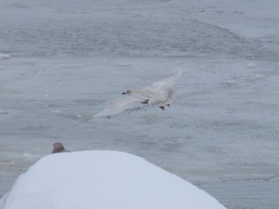 Iceland Gull in flight