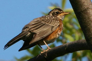 American Robin © Dave Lewis