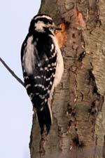 Hairy Woodpecker � Dave Lewis