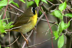 Common Yellowthroat © Dave Lewis