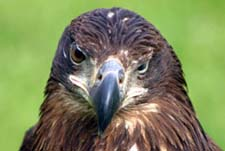 Golden Eagle � Dave Lewis
