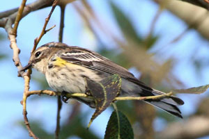 Yellow-rumped Warbler © Dave Lewis