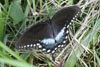 Spicebush Swallowtail © Mary Anne Romito