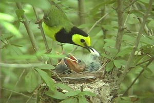 Male Hooded Warbler feeding chicks including one cowbird � Miles Reed