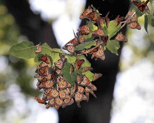 Monarch butterflies resting during migration at Dike 14 � Dave Lewis