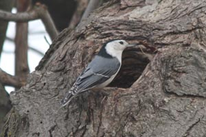 White-breasted Nuthatch � Georges Darris