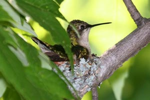 Ruby-throated Hummingbird on nest � Dave Lewis