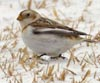 Snow Bunting © Ray Silvey