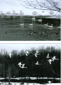 Tundra Swans at Coe Lake Jan. 2007 � Lou Stefanini