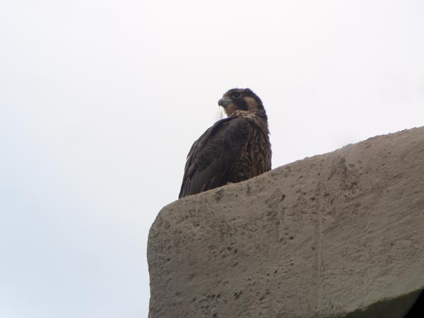 Juvenile Peregrine Falcon at Hilliard Rd Bridge