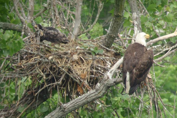 Bald Eagle with chick in Rocky River IBA