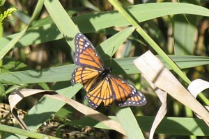 Viceroy butterfly at Dike 14 � Mary Anne Romito