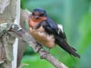 Juvenile Barn Swallow © Page Stephens