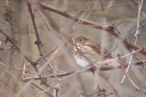 Hermit Thrush in Rocky River 1/21/07 � Bill Deininger